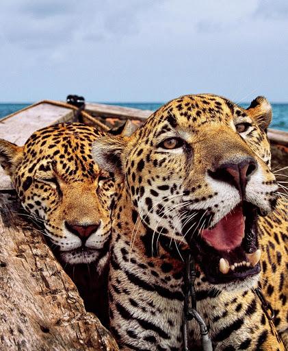 Encadenan jaguares para los turistas